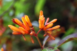 Hamelia patens, known as redhead in English, is used on the skin for problems such as sores, bruises, rashes, itches, insect bites, burns or cuts.