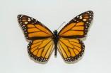The Monarch, Danaus plexippus
