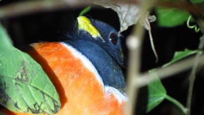 Orange-bellied Trogon close up of face (Male)