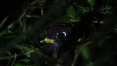 Orange-bellied Trogon (Female) eliptical eyering