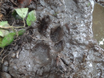 Could it be Puma prints? Photos courtesy of former Resident Naturalist Jessica Murray