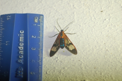 Moth of the family Arctiinae