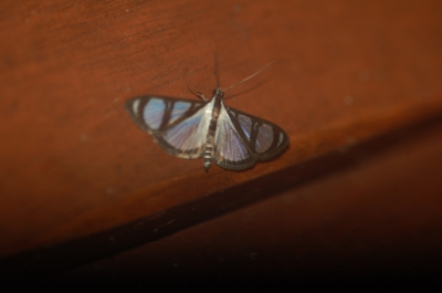Moth of the family Crambidae