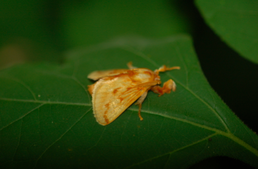 Moth of the family Megalopygidae