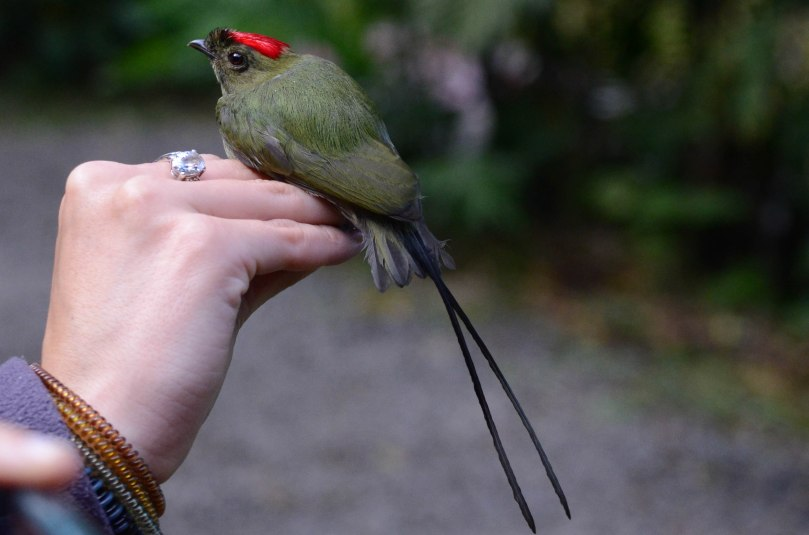 Juvenile Male Long-tailed Manakin