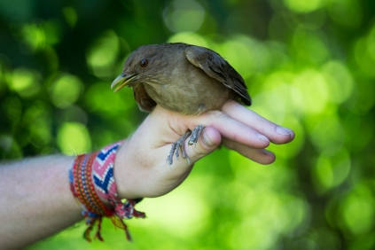A clay-colored thrush, the national bird of Costa Rica, perches on the hand of ornithologist Cody Cox on Wednesday, June 22, 2016. (Photo/Rachel Eubanks, www.rachel-eubanks.com)