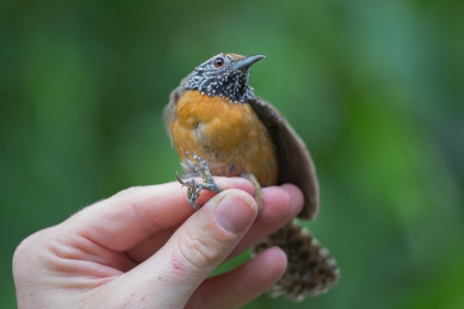 Ornithologist Cody Cox holds a rufous-breasted wren on the campus of the University of Georgia in Costa Rica on Wednesday, June 22, 2016. (Photo/Rachel Eubanks, www.rachel-eubanks.com)