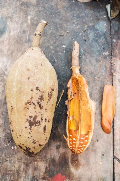Fruto y semilla de Swietenia humilis //Fruit and seed of Swietenia humilis