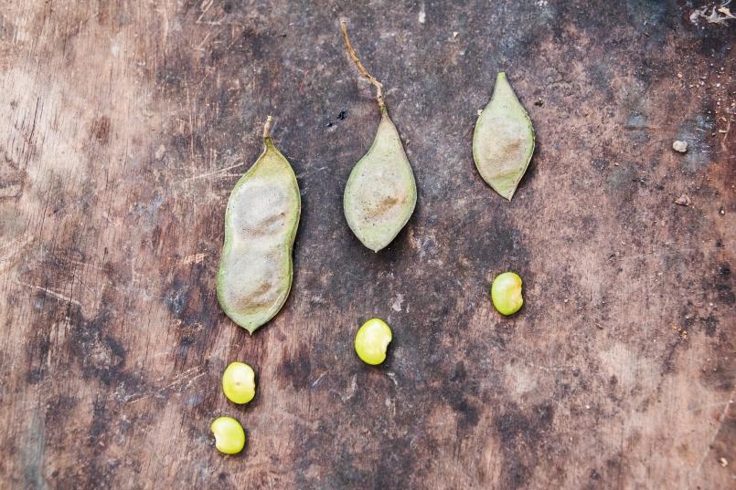 Semilla Lonchocarpus minimiflorus (Fabaceae) // Seed of Lonchocarpus minimiflorus (Fabaceae)