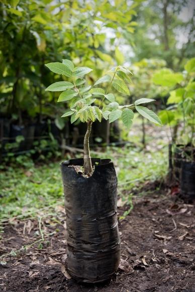 cedrela salvadorensis1