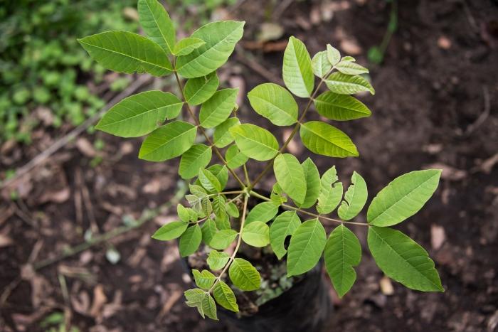 cedrela salvadorensis2